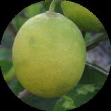 Лимоны и гибриды