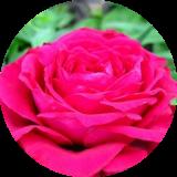 Розы английские Д. Остина