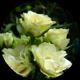 Розы миниат. и бордюрные