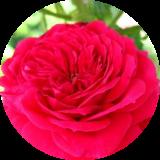 Розы патио (низкорослые)