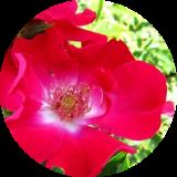Розы серия бабочки