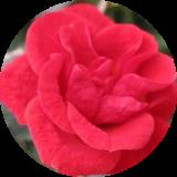Розы парковые (ландшафтные)