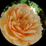 Розы английские другие