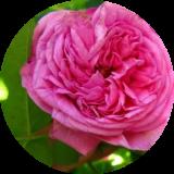 Розы цветущие один раз
