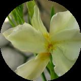 Субтропические декоративно цветущие