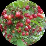 Плодово-ягодные деревья и кустарники другие