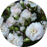 Корнесобственные розы по группам и сортам
