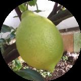 Субтропические плодовые (Цитрусовые)