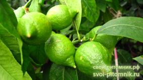 Цитрусы тест тест тест Лимон -Лимон (Лимон)  лимон лимон